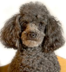 golden poodle years grey poodle