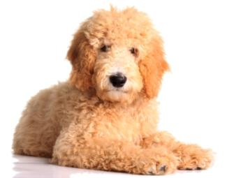 golden retriever poodle mix goldendoodle laying down