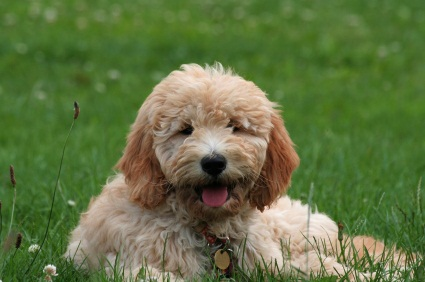 cute golden poodle dog outside in the grass lying down