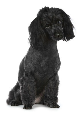 gray poodle looking cute as he tilts his head