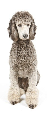 silver and gray standard poodle sitting down