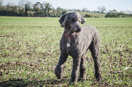 gray standard poodle standing outside on the grass