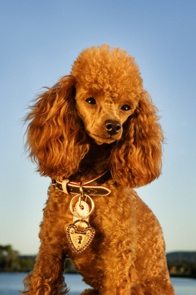 red toy poodle sitting down with a brown collar on with a heart medal