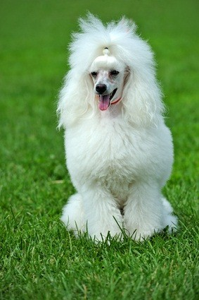 white toy poodle with a full coat sitting in the grass