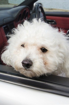 white poodle in the car