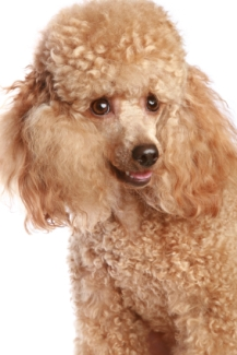 closeup of an apricot standard poodle puppy
