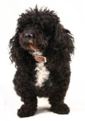 black toy poodle with white on his chest