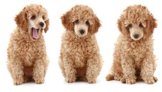 three apricot poodle puppies sitting beside each other