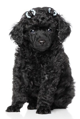 black miniature poodle puppy with two barettes in her hair