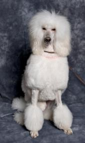 white standard poodle sitting down