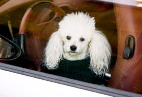 white poodle riding in a car with leather seats