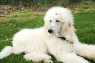 white standard poodle lying down in the green grass