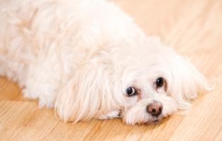 peekapoos white peke-a-poo laying on a light brown hardwood floor