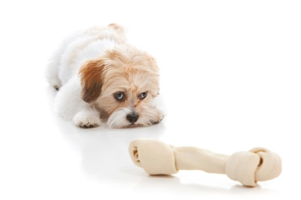 white peekapoo puppy with brown ears laying down looking at a bone
