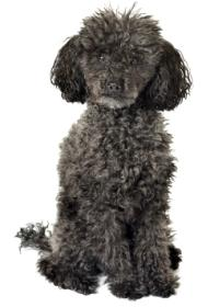 black poodle sitting down