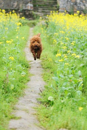 red toy poodle running and playing on a path in the garden surrounded by yellow flowers