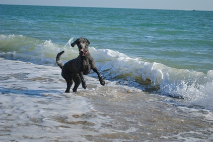 black standard poodle playing in the blue ocean water as waves crash around him