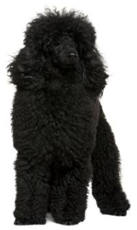 black miniature poodle puppy sitting down