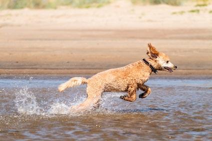 auburn poodle having fun jumping in the lake water