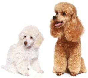 poodle breeds white toy poodle and apricot miniature poodle sitting beside each other