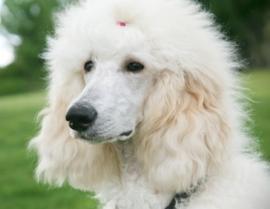 white standard poodle closeup