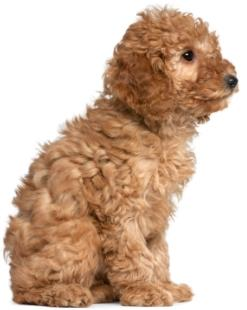 apricot poodle puppy sitting down giving a side view