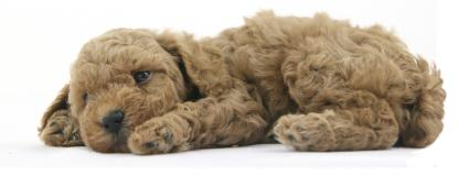 poodle puppy laying on its side with one eye open