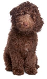 poodle labrador chocolate labradoodle sitting down