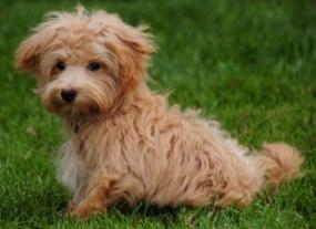 poodle maltese mix apricot maltapoo sitting in the green grass