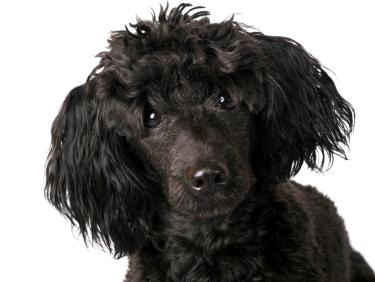 poodle pictures black toy poodles face