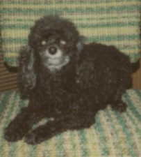 Holly black toy poodle laying on a green chair