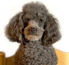cream and silver miniature poodle