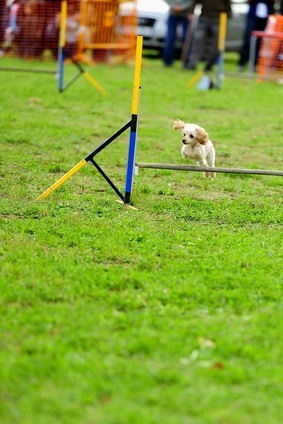 white toy poodle with tan ears jumping over a hurdle on green grass during an agility show