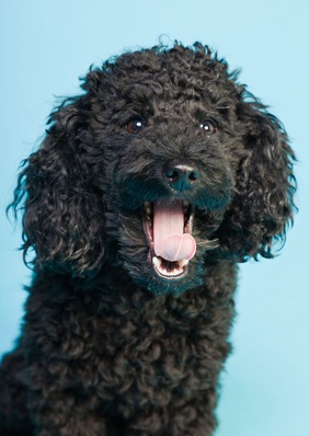 black poodle puppy with his mouth open