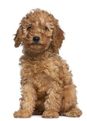 apricot and cream colored miniature poodle puppy