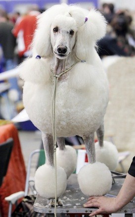 white standard poodle getting groomed in the continental style with shaved legs, face and throat