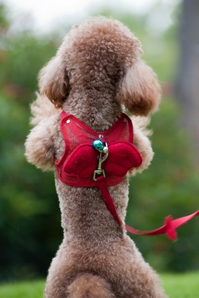 cafe au lait colored toy poodle standing on hind legs with a red lead and collar