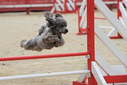 silver toy poodle jumping over a red and white hurdle at an agility competition