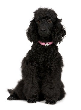 black standard poodle puppy sitting down wearing her pink collar
