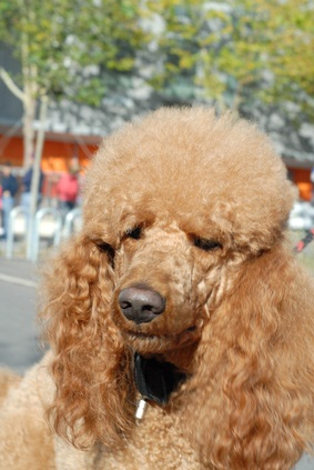 red royal poodle out for a walk on a sunny summer day