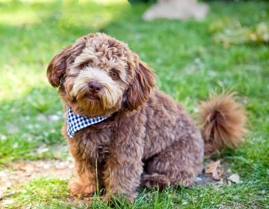 brown schnoodle sitting in the green grass with a blue and white scarf