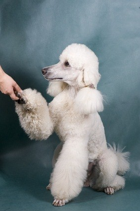 white standard poodle shaking hands
