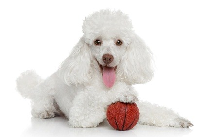 white toy poodle laying down with her right paw on a small rubber basketball