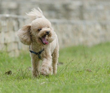 cream colored poodle yawing as she walks in the green grass