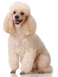 cream colored miniature poodle sitting down