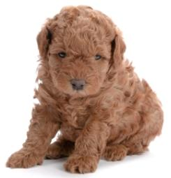 red poodle pup half sitting half laying down