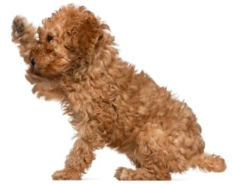 red toy poodle puppy with his right paw up in the air