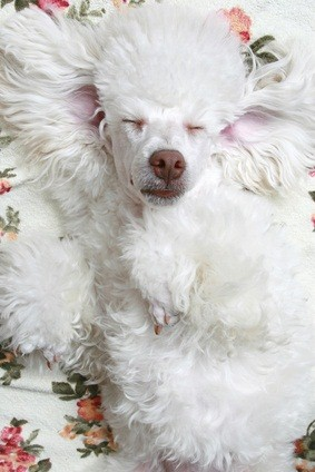 white poodle pup sound asleep on a flowered blanket