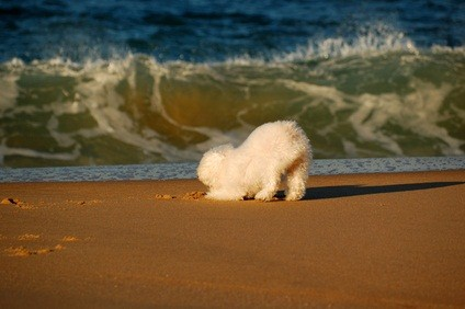 white standard poodle puppy down on his front paws on the sand at the beach playing as the waves roll in
