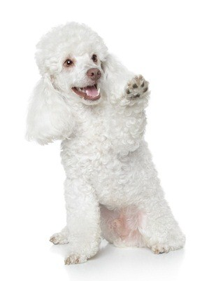 white standard poodle puppy sitting down and lifting its left paw